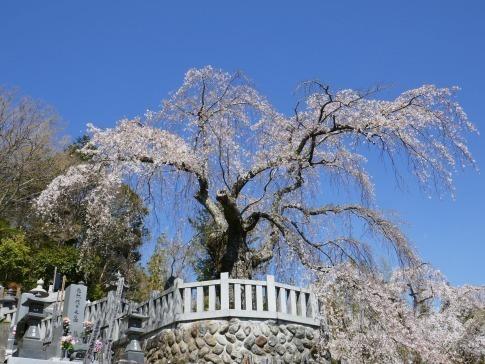 円実寺の枝垂れ桜.jpg