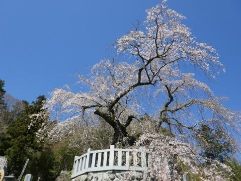 円実寺の枝垂れ桜2.jpg