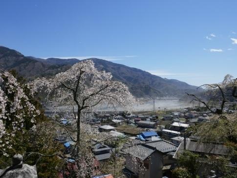 円実寺の枝垂れ桜4.jpg
