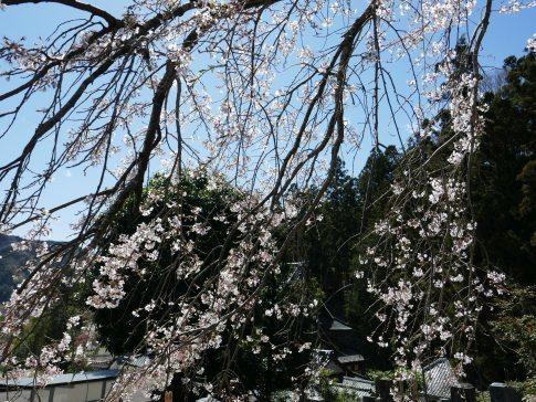 円実寺の枝垂れ桜6.jpg