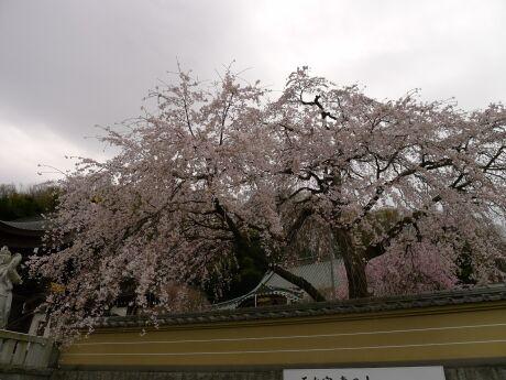 円通寺の桜4.jpg