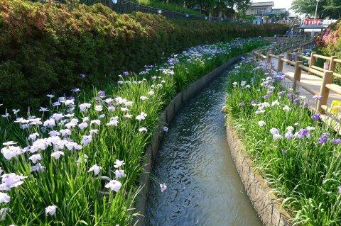 分水堀緑道の菖蒲5.jpg