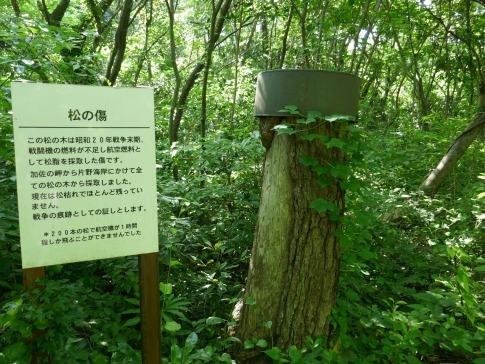 加佐の岬 松の傷.jpg