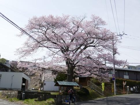 化粧坂入口の桜2.jpg