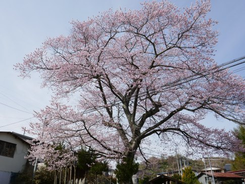 化粧坂入口の桜3.jpg