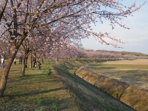北浅羽桜堤201904.jpg