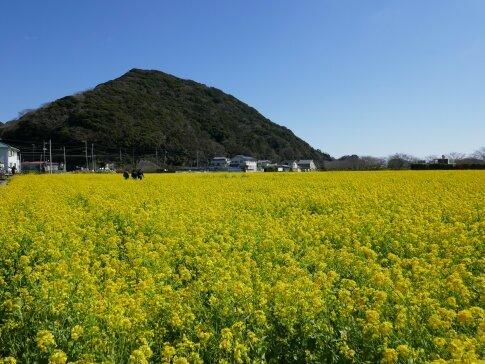 南伊豆菜の花.jpg