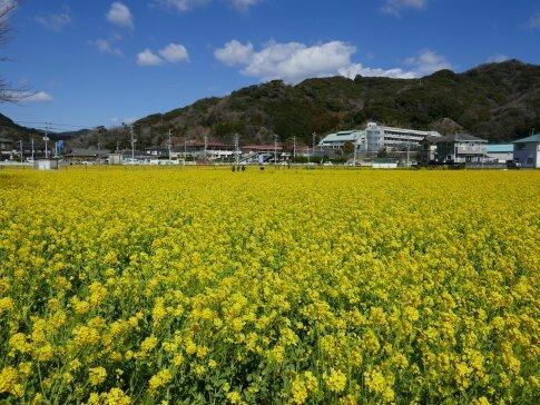 南伊豆菜の花まつり3.jpg