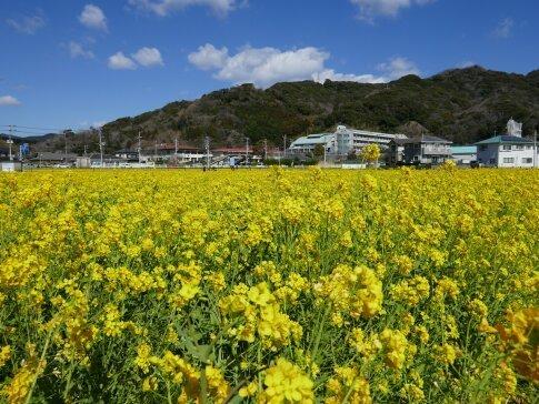 南伊豆菜の花まつり4.jpg
