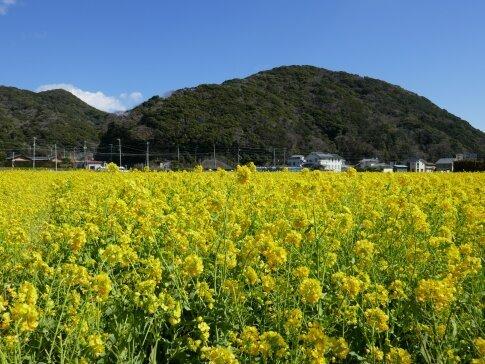 南伊豆菜の花まつり5.jpg