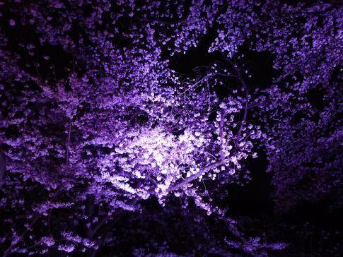 吉見百穴 桜ライトアップ5.jpg