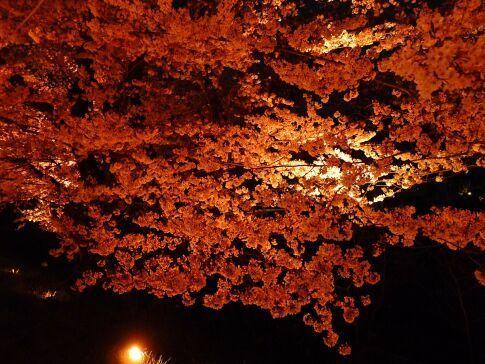 吉見百穴 桜ライトアップ6.jpg