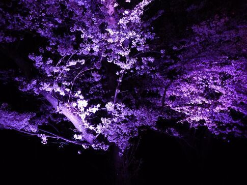 吉見百穴 桜ライトアップ8.jpg