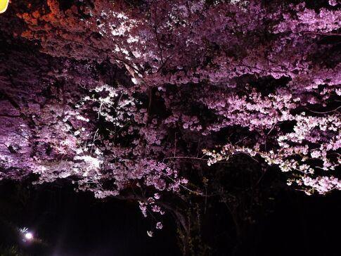 吉見百穴 桜ライトアップ9.jpg