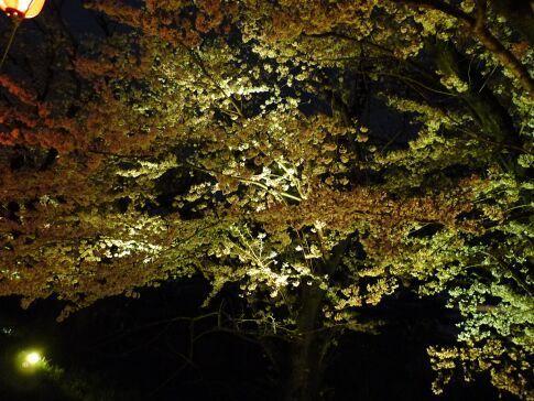 吉見百穴 桜ライトアップ1.jpg