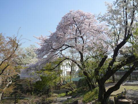 向山庭園の桜.jpg