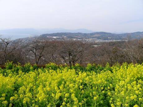吾妻山公園 菜の花2.jpg