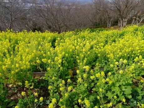 吾妻山公園 菜の花3.jpg