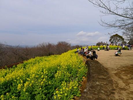 吾妻山公園 菜の花1.jpg