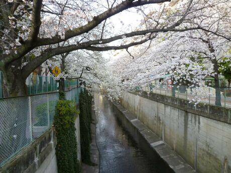 呑川沿いの桜 石川町2.jpg