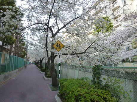 呑川沿いの桜 石川町3.jpg