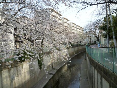 呑川沿いの桜 石川町4.jpg