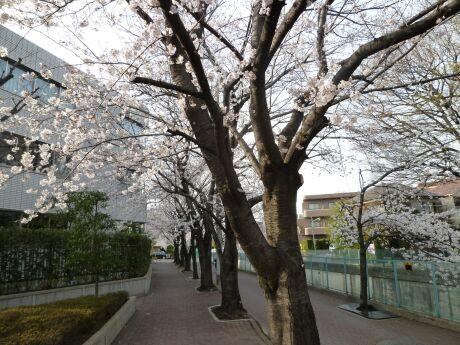 呑川沿いの桜 石川町5.jpg