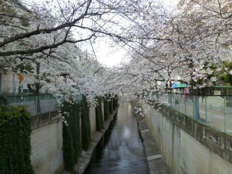 呑川沿いの桜 石川町1.jpg