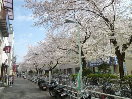 呑川緑道の桜2.jpg