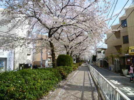 呑川緑道の桜3.jpg