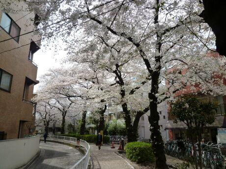 呑川緑道の桜4.jpg