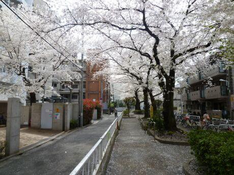 呑川緑道の桜5.jpg