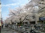 呑川緑道の桜 大.jpg