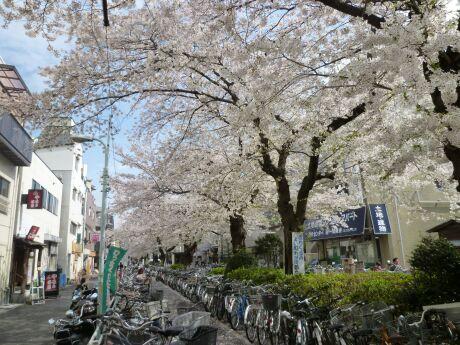 呑川緑道の桜1.jpg