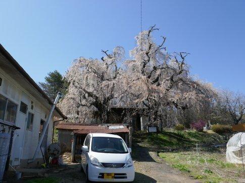 咲き分けの桜2.jpg