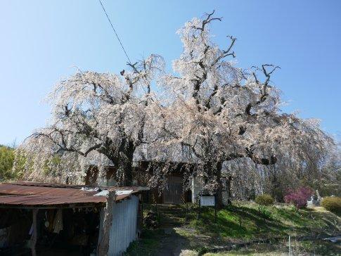 咲き分けの桜3.jpg