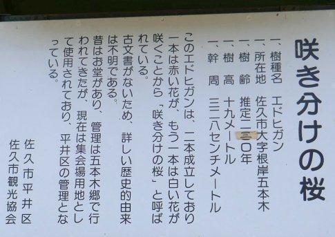 咲き分けの桜4.jpg
