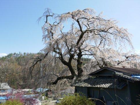 咲き分けの桜5.jpg