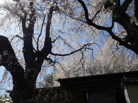 咲き分けの桜7.jpg