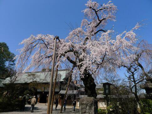 喜多院 枝垂れ桜201501.jpg
