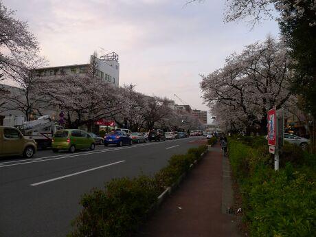 国立駅前の桜2.jpg