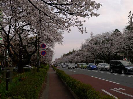 国立駅前の桜3.jpg