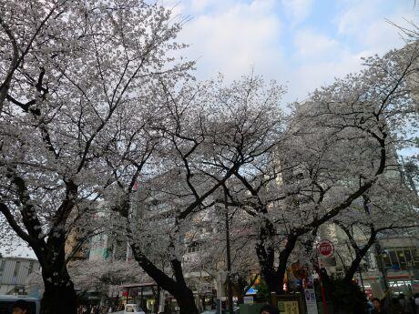 国立駅前の桜4.jpg