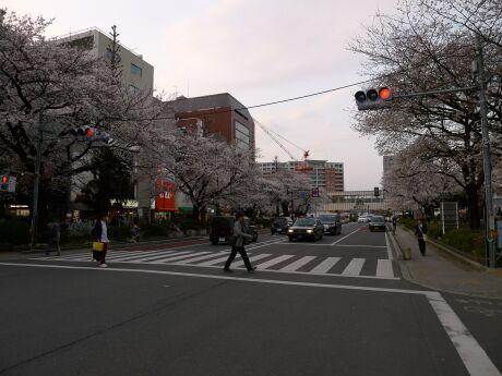 国立駅前の桜1.jpg