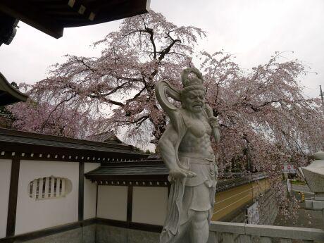 圓通寺の桜2.jpg