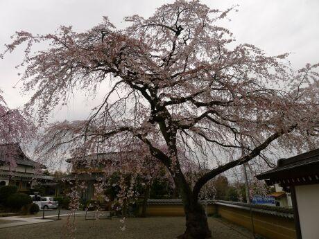 圓通寺の桜3.jpg