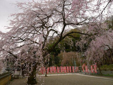 圓通寺の桜4.jpg