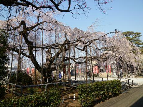 地蔵院の枝垂れ桜201103.jpg