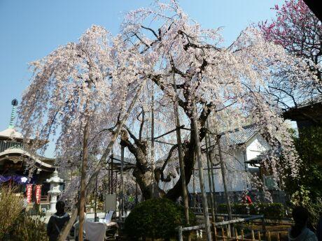 地蔵院の枝垂れ桜201104.jpg