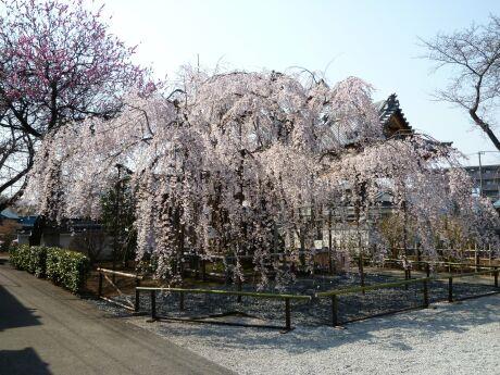 地蔵院の枝垂れ桜201101.jpg